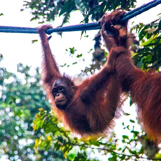 Orangutan sanctuary malaysia