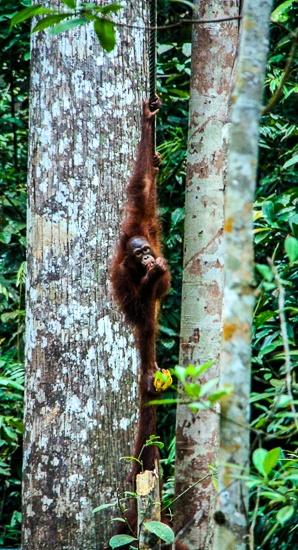 Borneo orangutan sanctuary
