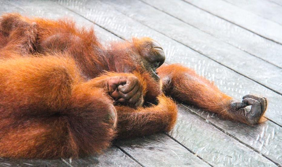 Borneo Orangutan volunteer