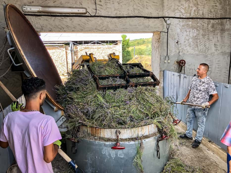 lavender farm france